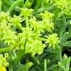 sea_fennel